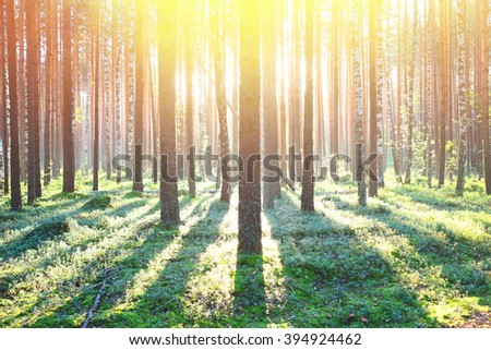 Early morning with sunrise in pine forest