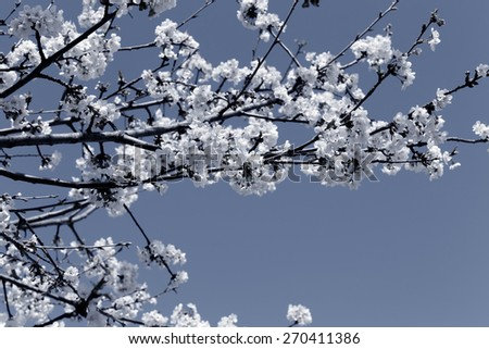 Early spring beautiful white flowers from trees. Black and white toned blue. - stock photo