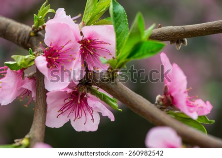 Early spring blooming peach tree branch - stock photo