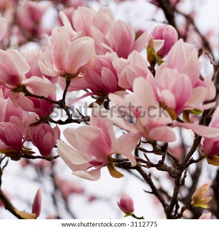 Early Spring Blossoms of a Japanese Magnolia - stock photo