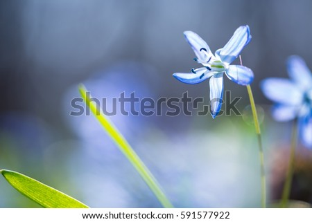 Early spring Blue Scilla (Squill) blossom background. Soft focus.