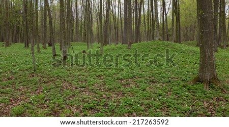 Early spring flowering anemone inside hornbeam deciduous stand of Bialowieza Forest in Europe - stock photo