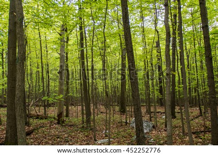 Early Spring Leaves in Young Forest along the Appalachian trail - stock photo