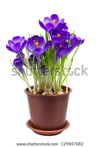 Early spring purple flower Crocus for Easter isolated - stock photo