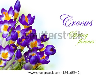 Early spring purple flower Crocus on white background - stock photo