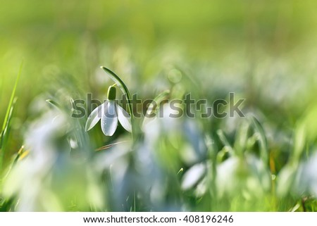Early spring snow drops (Galanthus nivalis)