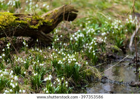 early spring snowflake flowers in march, leucojum vernum, group in a spring forest - stock photo