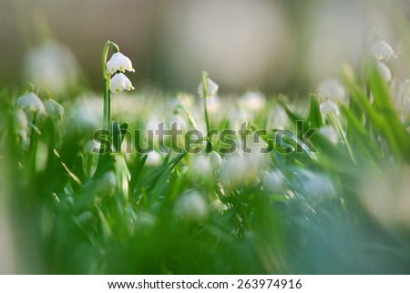 Early spring snowflake wild flowers - stock photo
