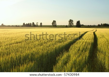 Early spring wheat field with a dirt road in the late sun. - stock photo