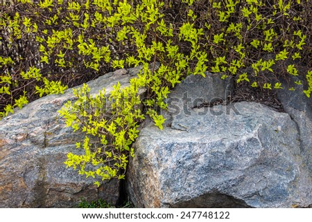 Early spring. Young green leaves on the bush near the gray stone. - stock photo