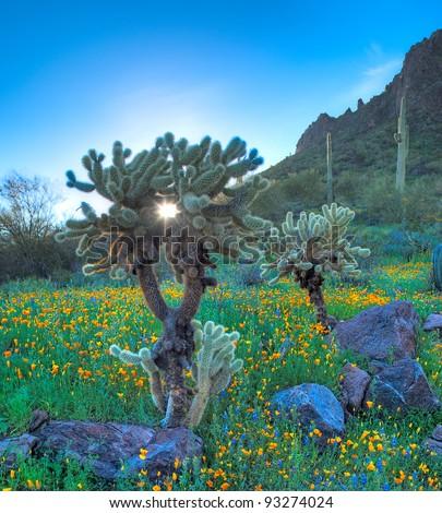 Early sun shines through Cholla. - stock photo