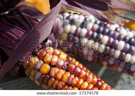 Ears of colorful Indian corn. Shallow DOF. - stock photo