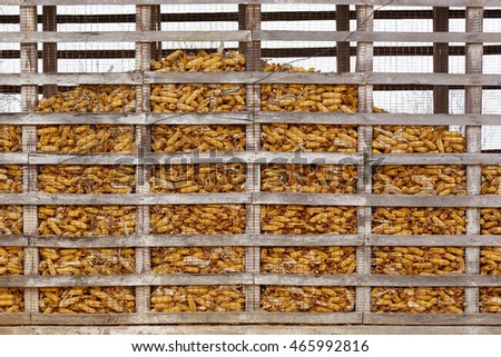 Ears of Harvested corn in old corn  crib