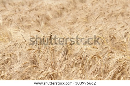 Ears of ripe barley growing on a farm field - stock photo