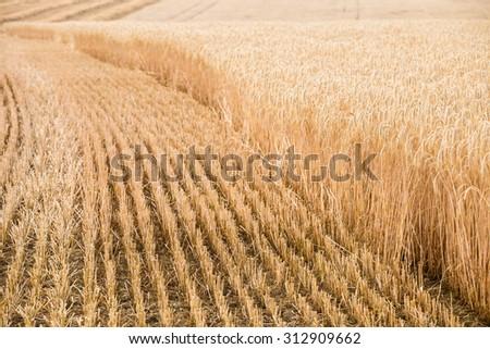 Ears of ripe barley. Harvest season - stock photo