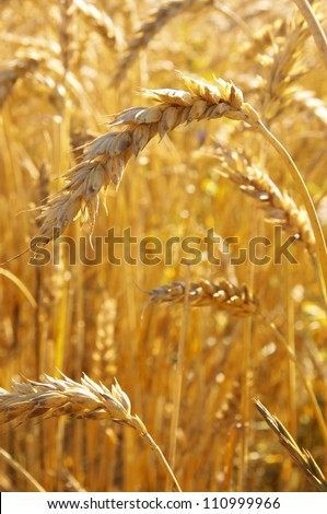 Ears of ripe Wheat on a field, ready to be harvested - stock photo