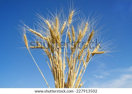 ears of wheat against a blue sky  - stock photo