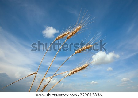 Ears of wheat against the blue sky with clouds - stock photo