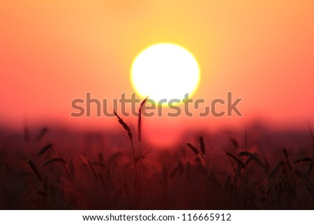 ears of wheat at sunset - stock photo