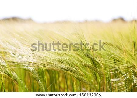 Ears of wheat in field - stock photo