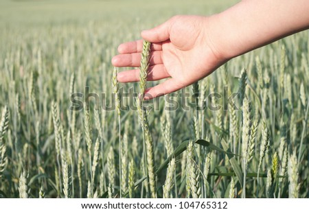 ears of wheat in the hands of