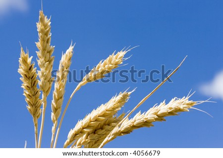 Ears of wheat on a background of the dark blue sky