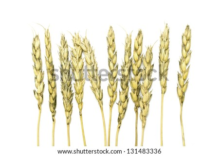 ears of wheat on a white background