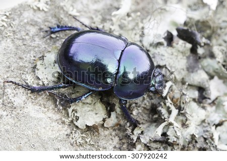 earth-boring dung beetle in natural habitat / Trypocopris vernalis - stock photo