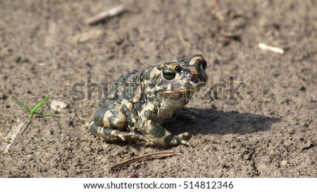 earthen frog sits on the ground and looking at the camera