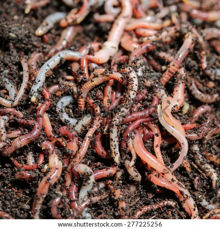 Earthworms (Dendrobena Veneta) for Fishing - stock photo