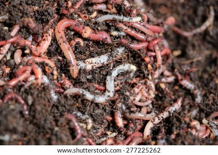 Earthworms (Dendrobena Veneta) for Fishing - stock photo