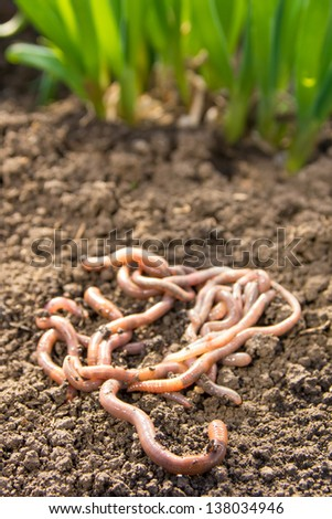 Earthworms group on earth patch close up. Agriculture or fishing concept. - stock photo