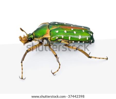 East Africa flower beetle, Stephanorrhina guttata, in front of white background, studio shot - stock photo