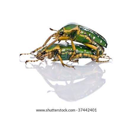 East Africa flower beetles having sex, Stephanorrhina guttata, in front of white background, studio shot - stock photo