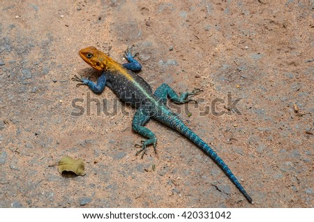 East African Rainbow Lizard  - stock photo