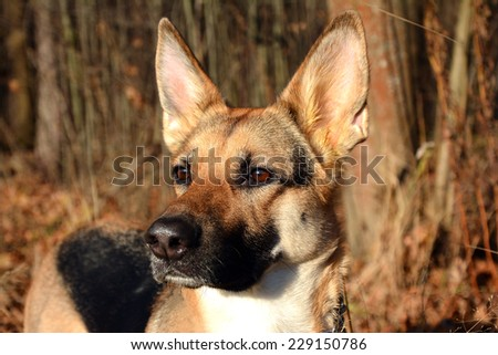 east-europian sheepdog - stock photo
