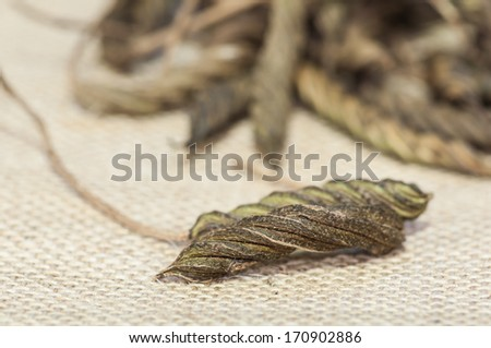 East Indian screw tree (Helicteres isora (L.),bring to boil and drink can have a bitter taste similar to tea.  - stock photo