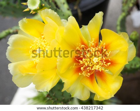 Eastem prickly pear