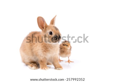Easter Bunny Rabbit and Easter Chicken on white background Easter card  - stock photo