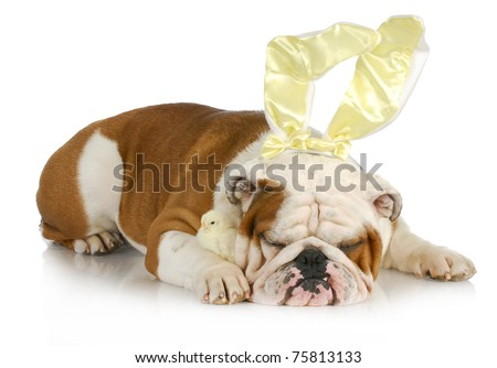 easter dog - english bulldog bunny with chicks on white background