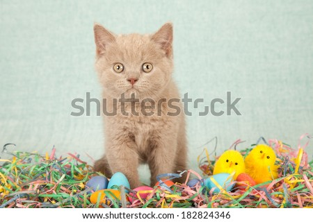 Easter kitten with easter eggs, easter chicks, colourful straw against light blue green background - stock photo