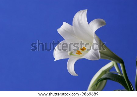 Easter Lily Close up - stock photo