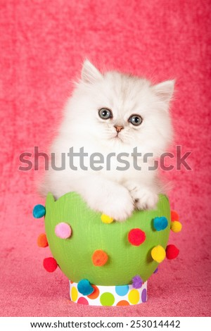 Easter silver chinchilla kitten sitting inside large green easter egg on bright pink background  - stock photo