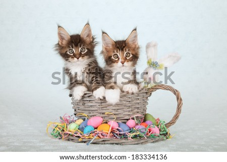 Easter theme Maine Coon kitten sitting in large  woven cup and saucer with Easter eggs and fluffy Easter bunny on light blue green background