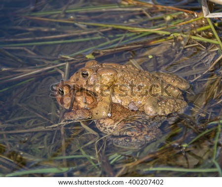 Eastern American Toads Mating/A pair of  Eastern American Toads (Anaxyrus Americanus) mating. - stock photo