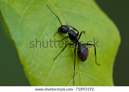 Eastern Black Carpenter Ant, Camponotus pennsylvanicus