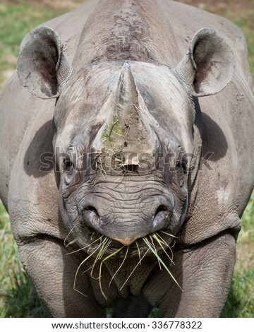 Eastern Black Rhinoceros eating grass - stock photo