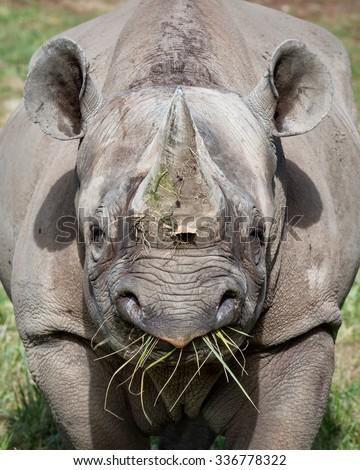 Eastern Black Rhinoceros eating grass - stock photo