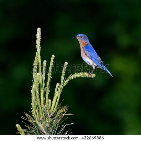 Eastern Bluebird - stock photo
