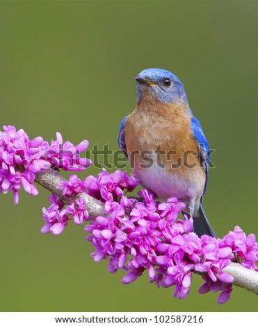 Eastern Bluebird on Flowering Eastern Redbud Branch - stock photo